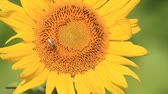 Sunflower in the sunflower field with bee over it. Стоковые видеозаписи