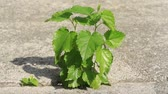 Mother Nature is powerful and simple plant can grow up trough every small gap I concrete. Plant growing trough concrete.