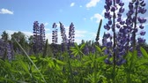 lupine : Lupine flowers swing by the breeze Stock Footage