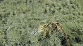 soldado : Small hermit crab sits on the muddy ground, then leaves the frame, close-up.
