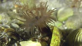 tomate : Sea anemone in underwater stream current.