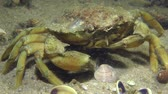 invading : Green crab eat clam crushed by its claws, close-up.