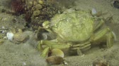 maenas : Green crab burrows in sandy ground, medium shot. Stock Footage