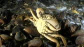 maenas : Green crab cleans parasites from the carapace, medium shot.