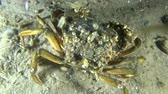 maenas : Green crab overgrown with barnacles shells, medium shot. Stock Footage