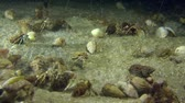 soldado : A large number of Small hermit crabs.
