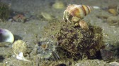 soldado : Small hermit crab sits on the top of the shell of Veined Rapa Whelk. Vídeos