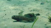 černoch : Black goby (Gobius niger) floats out of the mink on the sandy bottom, wide shot.