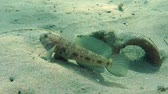 černoch : Male of Black goby (Gobius niger) near the neck of ancient amphorae buried in the sandy bottom.