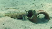černoch : Male of Black goby (Gobius niger) is hidden in ancient amphorae buried in the sandy bottom. Dostupné videozáznamy