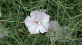 trepadeira : Flowering bindweed.