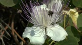 capers : The bee flies around the flower capers, Therasia, Greece. Stock Footage