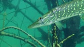 jackfish : Northern pike (Esox lucius) on the background of the flooded tree, close-up. Ukraine.