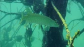 jackfish : Northern pike (Esox lucius) slowly turns around in the frame, medium shot. Ukraine. Stock Footage