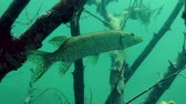 jackfish : Northern pike (Esox lucius) is slowly swims away from the frame, medium shot. Ukraine.