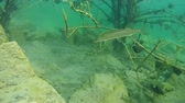 jackfish : Northern pike (Esox lucius) hangs among the branches of submerged tree, the European perch swims past, wide shot. Ukraine.