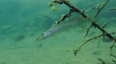 jackfish : Northern pike (Esox lucius) obliquely hangs among the branches of submerged tree, medium shot. Ukraine.