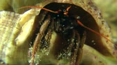 soldado : Hermit crab (Clibanarius erythropus) emerges from the shell, close-up.