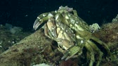 maenas : Male and female of Green crab (Carcinus maenas) before mating.