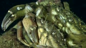 maenas : Male and female of Green crab (Carcinus maenas) before mating, close up.