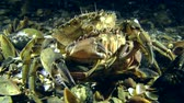 maenas : Male of Green crab (Carcinus maenas) carrying the female before mating leaves the frame. Stock Footage