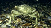 maenas : Big Green crab (Carcinus maenas) walking along the bottom, then leaves the frame. Stock Footage