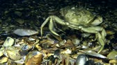 invading : Big Green crab (Carcinus maenas) walking along the bottom, then leaves the frame, the front view. Stock Footage