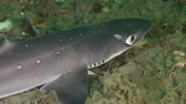 americanus : The front part of the body Piked dogfish (Squalus acanthias), close-up. Stock Footage
