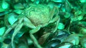 invading : Green crab (Carcinus maenas) runs along the bottom and then goes away, medium shot. View from the back.