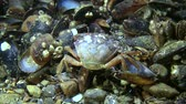 invading : Green crab (Carcinus maenas) eating mussels, medium shot. Stock Footage