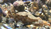 soldado : Small hermit crab (Diogenes pugilator) sits on the carapace of swimming crab buried in ground, medium shot.