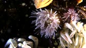 tomate : Beadlet anemone (Actinia equina) eats polychaete worm (Nereis sp.) during the mass spawning, medium shot. Vídeos