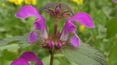 ortie : Fleur de Red Dead-nettle (Lamium purpureum), close-up.