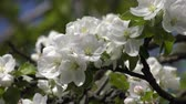 malus domestica : Blooming branch of apple tree, close-up.