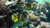 plectorhinchus : A flock of Diagonal butterflyfish, Red Sea Bannerfish and Blackspotted rubberlip stands in the shade of a coral reef. Stock Footage