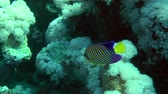 angel : Regal angelfish (Pygoplites diacanthus) swims against the background of soft corals, then leaves the frame, wide shot. Stock Footage