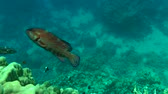 seabass : Coral Grouper (Cephalopholis miniata) swims past the camera on a background of coral, wide shot.