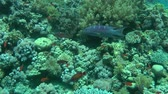 seabass : Lyretail Grouper (Variola louti) swims on the background of a coral reef, then leaves the frame, wide shot.
