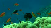 pseudanthias squamipinnis : Many fish Lyretail Anthias (Pseudanthias squamipinnis) and other kinds of fish swim over the coral reef, medium shot. Stock Footage