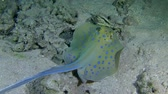 taeniura : Blue-spotted Stingray (Taeniura lymma) looks for food at the bottom, then leaves the frame, medium shot. Stock Footage