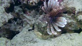 soldado : Devil firefish or Soldier lionfish (Pterois miles) swims on the reef background, medium shot.