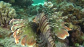 soldado : Devil firefish or Soldier lionfish (Pterois miles) slowly rises to the upper edge of the reef, medium shot.