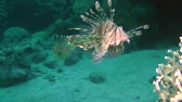 soldado : Devil firefish or Soldier lionfish (Pterois miles) approaches the camera, then leaves the frame, medium shot. Vídeos