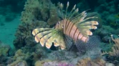 soldado : Devil firefish or Soldier lionfish (Pterois miles) swam to two more fish of this species, medium shot. Vídeos