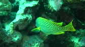 plectorhinchus : Blackspotted rubberlip (Plectorhinchus gaterinus) stands under the ledge of a coral reef, medium shot.