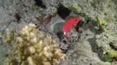 soldado : Silverspot squirrelfish (Sargocentron caudimaculatum) against a background of a coral reef.