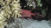 carmesim : Pinecone soldierfish (Myripristis murdjan) appear from behind the coral bush, medium shot.