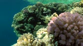pseudanthias squamipinnis : Solar glare on multi-color coral reef, wide shot. Stock Footage