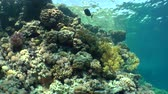 pseudanthias squamipinnis : A variety of hard and soft corals on the slope of the coral reef, sunny, wide shot. Stock Footage