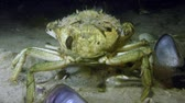 maenas : Green crab or Shore crab (Carcinus maenas) stands on a sandy bottom, then leaves the frame.